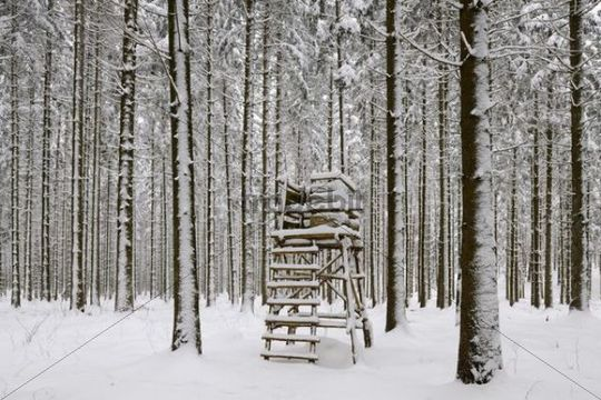 Pine forest with raised hide in winter