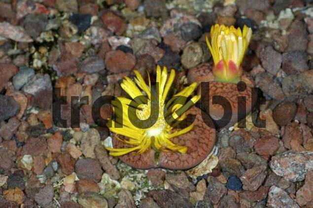 Flowering Lithops hookeri