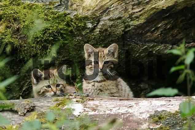 European wildcat baby animals Felis sylvestris are looking behind a trunk, captive
