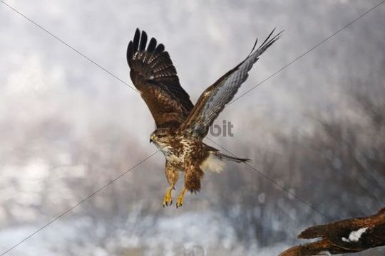 Common Buzzard (Buteo buteo) flying, winter, Germany