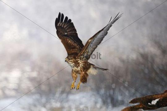 Common Buzzard (Buteo buteo) flying, winter, Germany