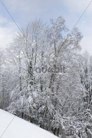 Snowy deciduous trees after snowfall, Bavarian foothills, Leitzachtal valley, Bavaria, Germany, Europe