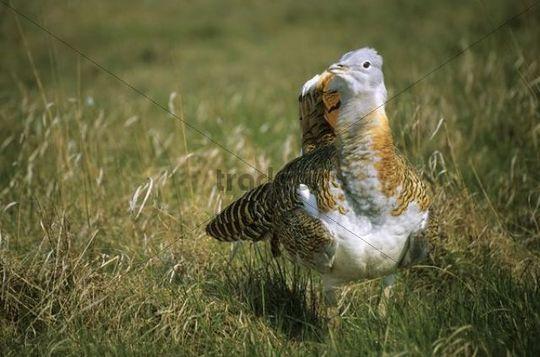 Great Bustard (Otis tarda) courting cock, Dévaványa-protected, Hungary, Europe