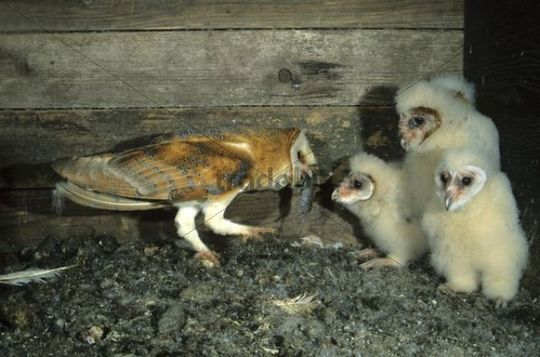 Barn Owl (Tyto alba) passing a mouse to a young bird
