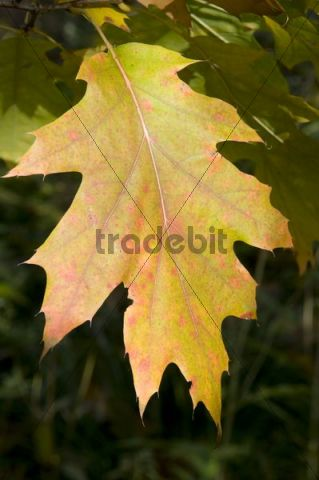 Northern Red Oak or Champion Oak (Quercus rubra), leaf