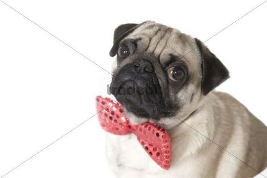 Young pug with a red bow tie, portrait
