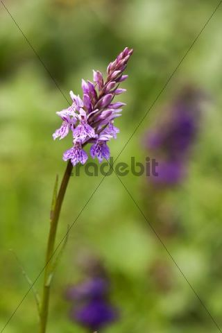 Heath Spotted Orchid or Moorland Spotted Orchid (Dactylorhiza maculata), South Tyrol, Italy, Europe