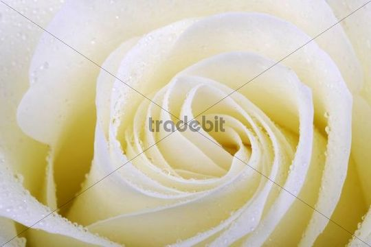 White rose (Rosa), with dew drops, close-up