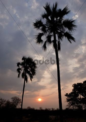 Palm trees, sunset, Victoria Falls National Park, Zimbabwe, Africa