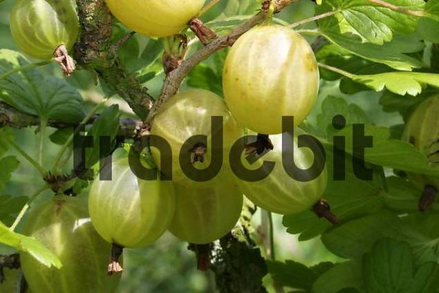 Yellow gooseberries on the bush