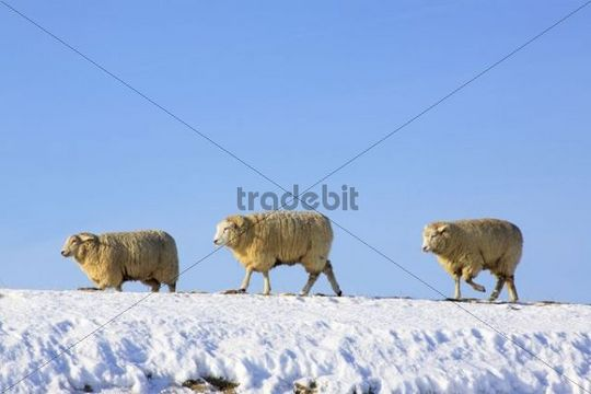 Domestic Sheep (Ovis ammon f. aries ) on a dike in winter, north sea coast, Schleswig-Holstein, Germany, Europe