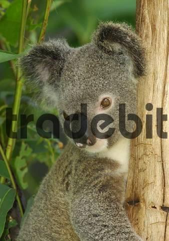 koala Phascolarctos cinereus, Australia