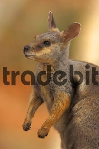 Tammar Wallaby Macropus eugenii, Australia