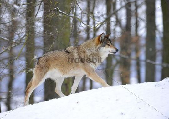 Mackenzie valley wolf - photo#13