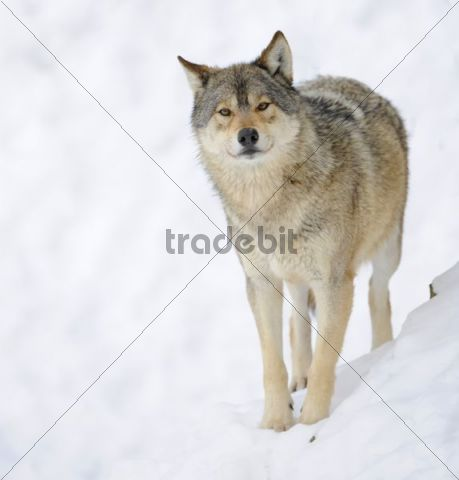 Mackenzie Valley Wolf, Alaskan Tundra Wolf or Canadian Timber Wolf (Canis lupus occidentalis) in the snow