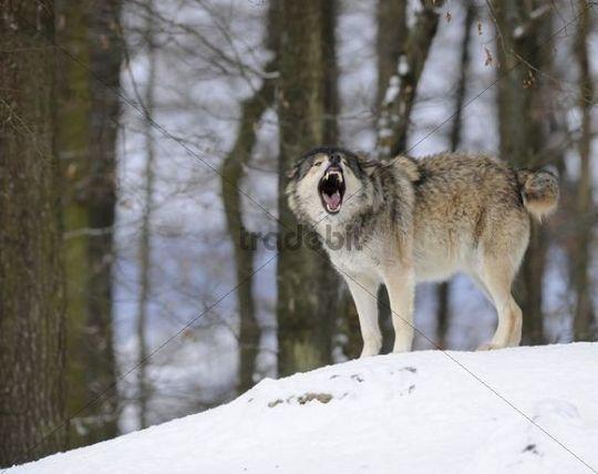 Alaskan Timber Wolf