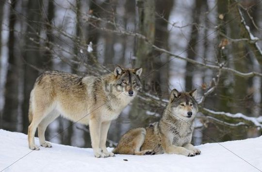 Mackenzie Valley Wolf, Alaskan Tundra Wolf or Canadian Timber Wolf (Canis lupus occidentalis), two wolves in the snow