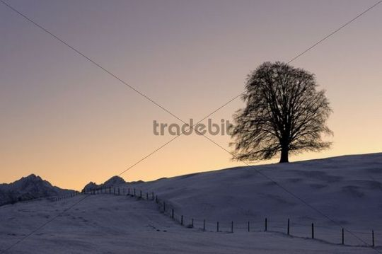 Old Linden (Tilia) at sunset on snow-covered meadow, Rosshaupten, Eastern Allgaeu, Bavaria, Germany, Europe