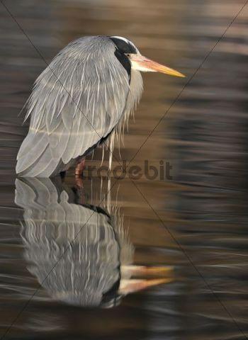 Grey Heron (Ardea cinerea) in pond