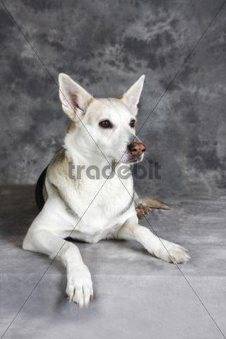 Ibizan Hound (Canis lupus familiaris), mongrel, lying bitch