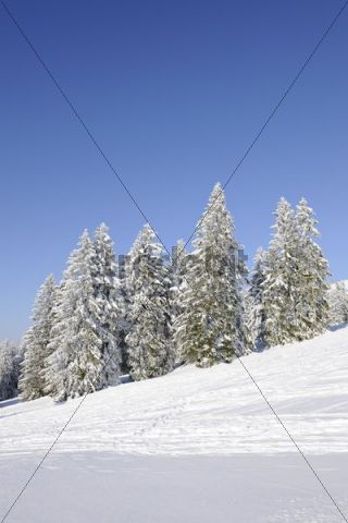 Silver Firs (Abies alba), Schauinsland hill in the Black Forest, Baden-Wuerttemberg, Germany, Europe
