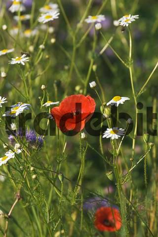 flowering meadow with red poppy Papaver rhoeas Germany