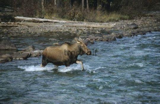 Moose cow (Alces alces) crossing a river, Alberta, Canada