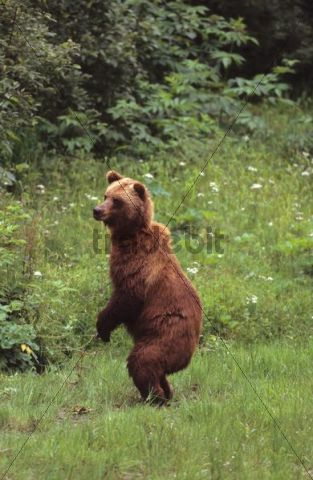 Grizzly bear (Ursus arctos horribilis) standing on its hind legs, Alaska, USA