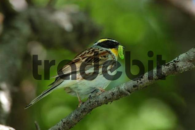 Black-faced Bunting / Emberiza spodocephala. Ussuriland, Southern Far East of Russia