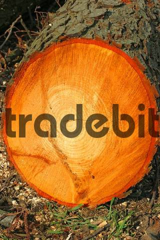 freshly cut alder tree Alnus glutinosa with red sap and tree-rings