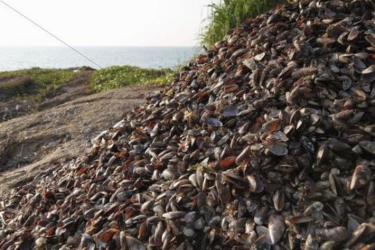 Pile of seashells, Malabarian Coast, Malabar, Kerala, India, Asia