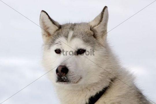 Portrait of a sled dog, male Siberian Husky, Yukon Territory, Canada