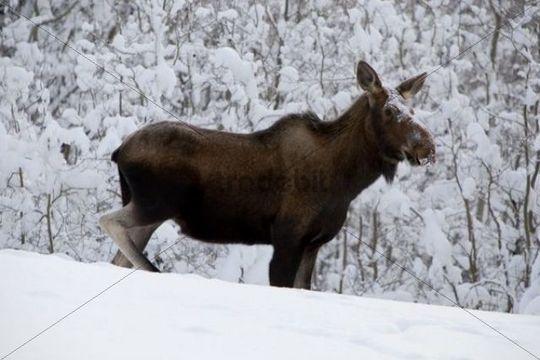 Moose (Alces alces), cow in deep snow, Yukon Territory, Canada
