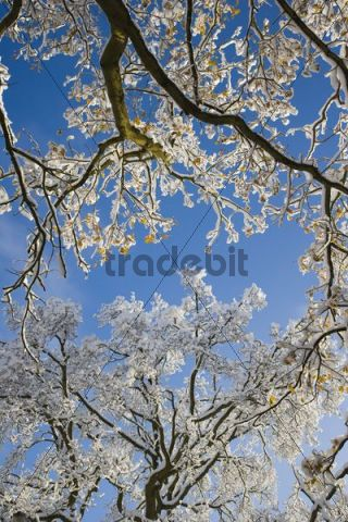 Snow covered bare tree branches