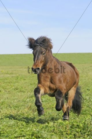 Icelandic horse galloping in a meadow