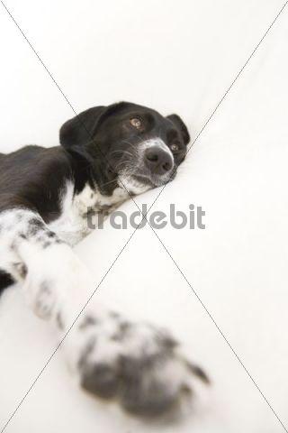 Crossbreed dog, female, lying