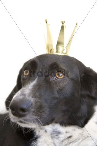 Black and white crossbreed dog, female, portrait with crown on head