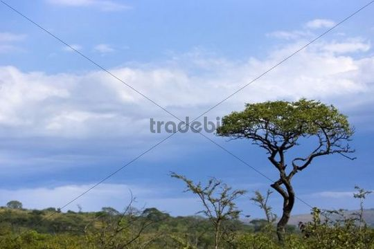 Tree in a stormy atmosphere, St. Lucia Wetland National Park, South Africa, Africa