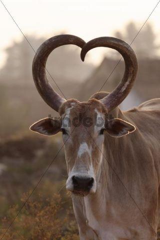 Zebu Or Humped Cattle With Heart Shaped Horns Karnataka