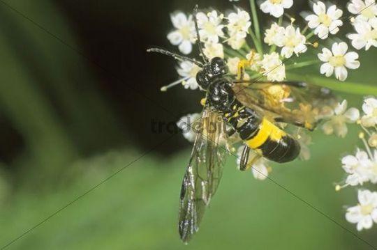 Sawfly (Tenthredo temula) visiting a flower