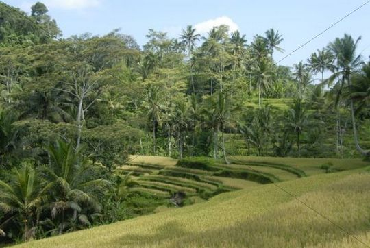 Rice paddies, rice terraces and coconut palm trees near Ubud, Bali, Indonesia, Southeast Asia, Asia