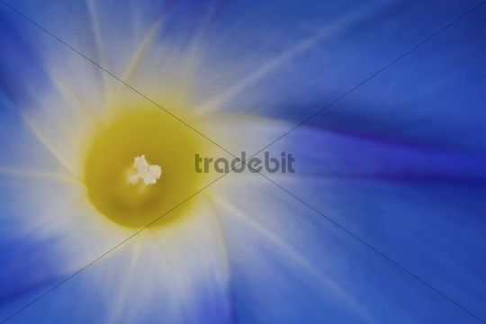 Close-up of a bindweed or morning glory (Convolvulaceae)