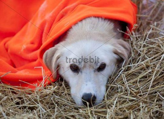 Resting sled dog, Alaskan Husky, straw, blanket, Dawson City, Yukon Quest 1, 000-mile International Sled Dog Race 2010, Yukon Territory, Canada