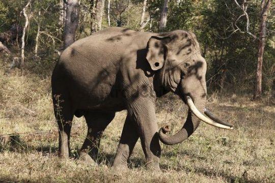 Asiatischer Elefant, Indischer Elefant (Elephas maximus), männlich, Rajiv Gandhi National Park, Nagarhole Nationalpark, Karnataka, Südindien, Indien, Südasien, Asien