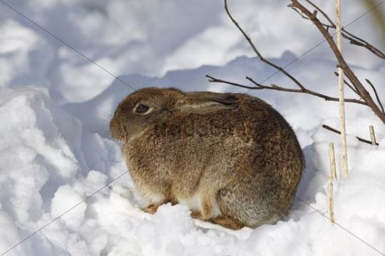 European Rabbit (Oryctolagus cuniculus) sitting in snow in winter