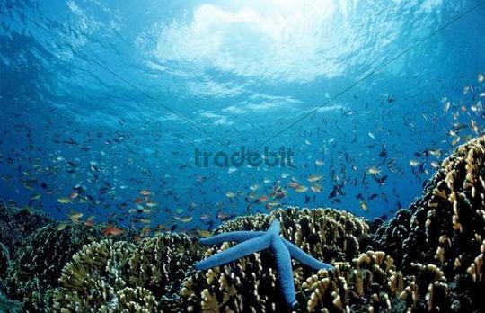 Blue Starfish (Linckia laevigata) on Fire Corals (Milepora sp.)