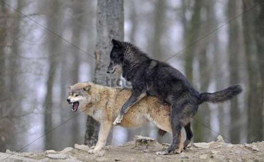 cute gray wolf pups