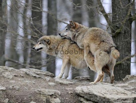 wolf mating pics
