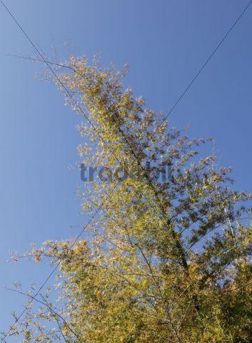 Bamboo shrub, Mudumalai National Park, Tamil Nadu, Tamilnadu, South India, India, South Asia, Asia