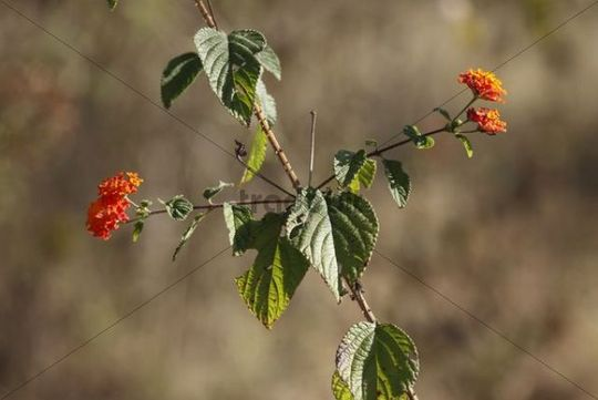 West Indian Lantana (Lantana camara), Mudumalai National Park, Tamil Nadu, India, Asia
